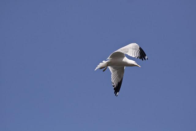 flyby gull
