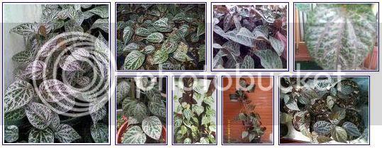 Khasiat dan manfaat daun sirih merah