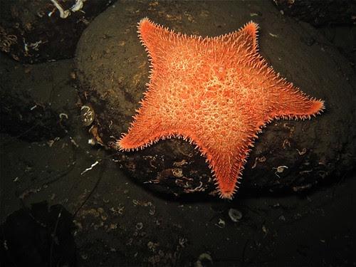 Spiny Red Star - Hippasteria spinosa
