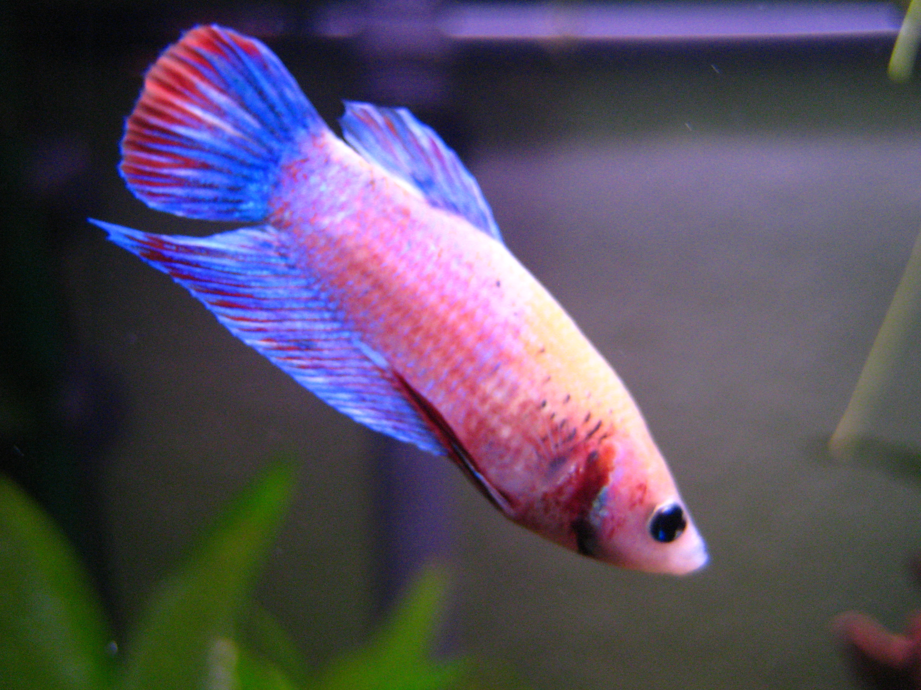 http://upload.wikimedia.org/wikipedia/commons/0/0a/Betta_splendens_%28w%29_t%C3%BCrkis-pink.JPG