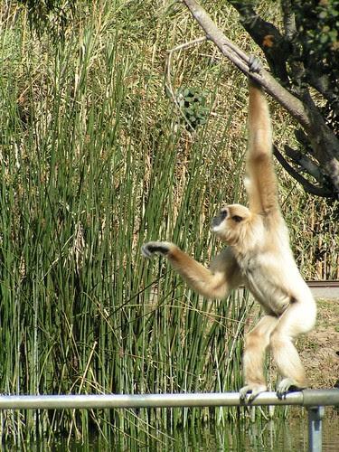 gibbon 5