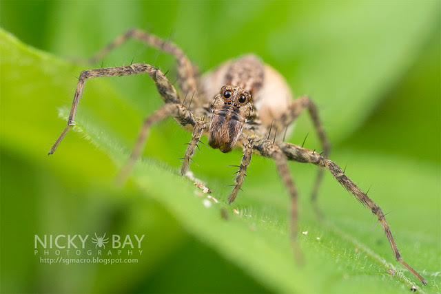 Wolf Spider (Lycosidae) - DSC_2955