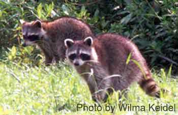 racoons-in-grass