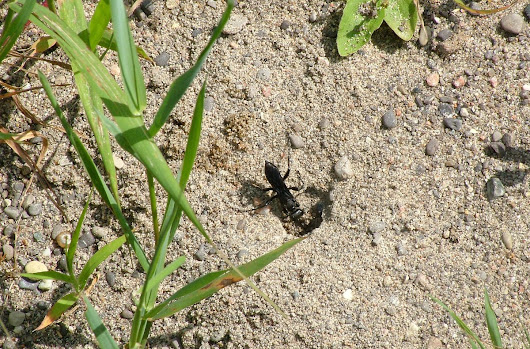 Great Black Digger Wasp At McKenzie Marsh In Aurora