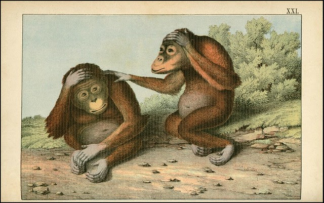 zoological chromolithograph - L'orang-outang