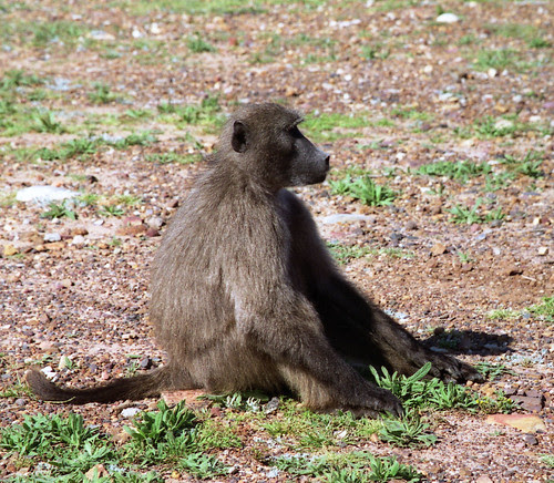 Baboon near Cape Point, South Africa