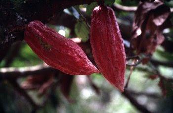 {#Cacao.jpg}