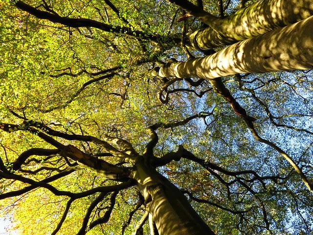 Beech Canopies