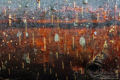 Decay Stripes, Fallen Alder Tree, Snohomish County, Washington