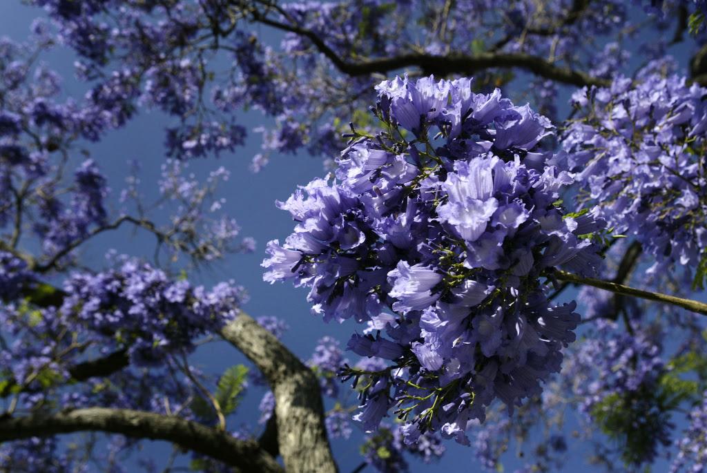 La In Bloom Send Us Photos Of Jacarandas In Los Angeles 3 Kpcc