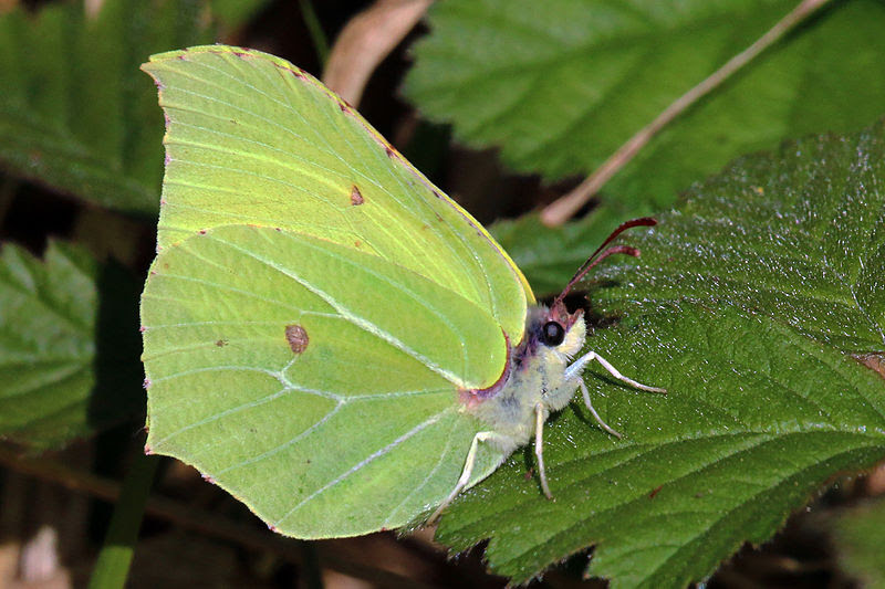 File:Common Brimstone butterfly (Gonepteryx rhamni).JPG