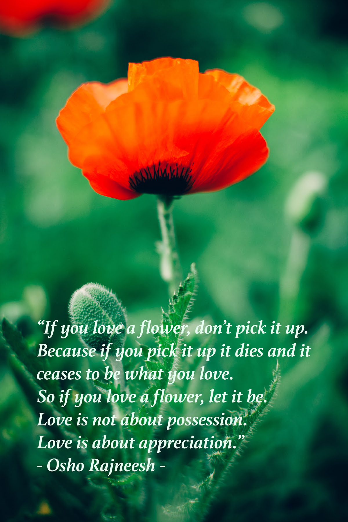 Osho Rajneeshs Quote If You Love A Flower Meditation Usa