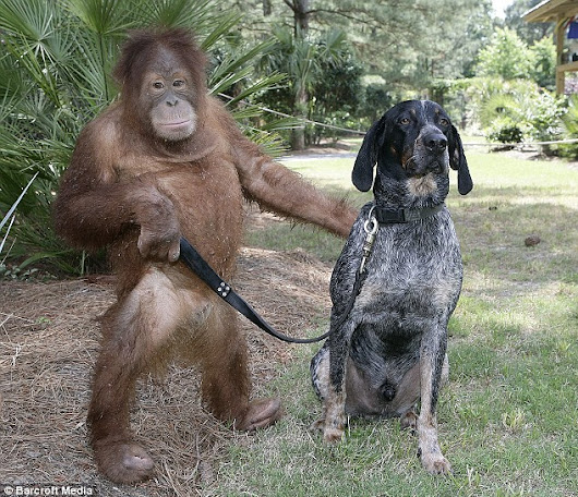 The odd couple: How an orang-utan and stray dog became best friends... and landed a slot on Oprah