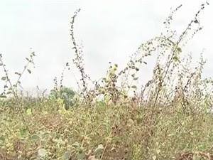 A erva daninha malva é usada para alimentar animais durante a seca em PE (Foto: Reprodução/TV Asa Branca)