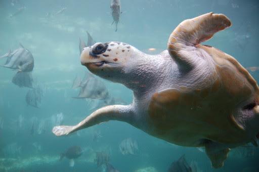Loggerhead_sea_turtle-512x340.jpg