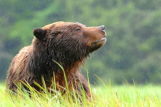 Photographing bears in Canada's Great Bear Rainforest.