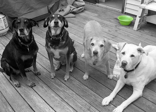 4dogs_61813_BW
