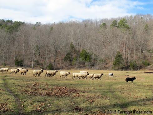 Sheep and Lucky Buddy Bear in the front field - FarmgirlFare.com