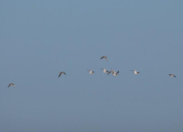 DSC_4309 Curlew in flight