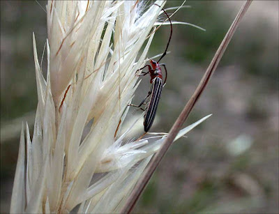 Beetle on Wallaby-grass