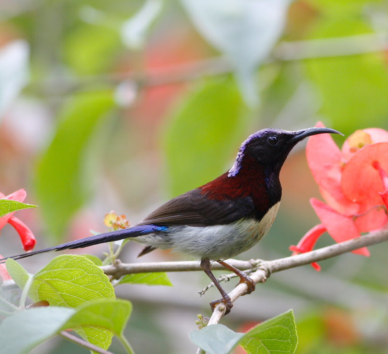Black-throated Sunbird in Mr. Deang's garden