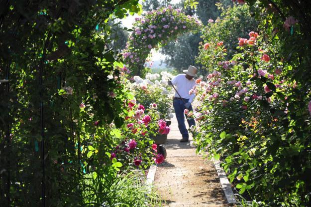 california rose garden 1