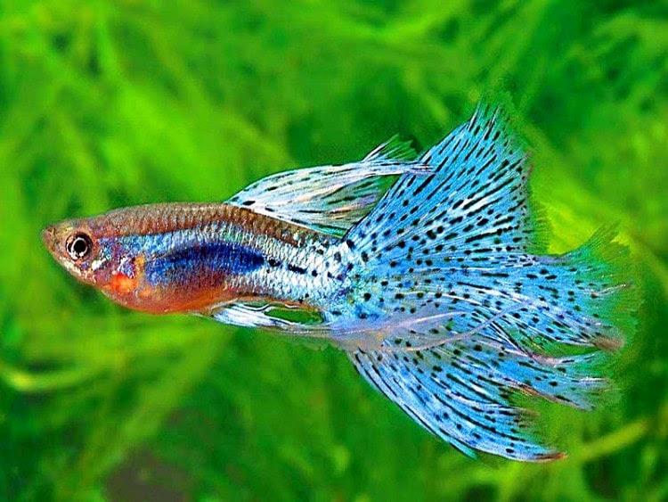 Kelebihan dan Kekurangan Ikan Gupy untuk Budidaya