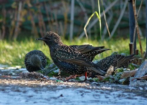 23717 - Starling, Pontarddulais