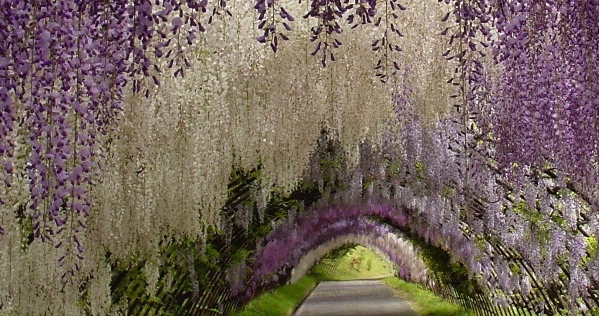Earth a wonderful world wisteria flower tunnel in japan Wisteria flower tunnel path in japan