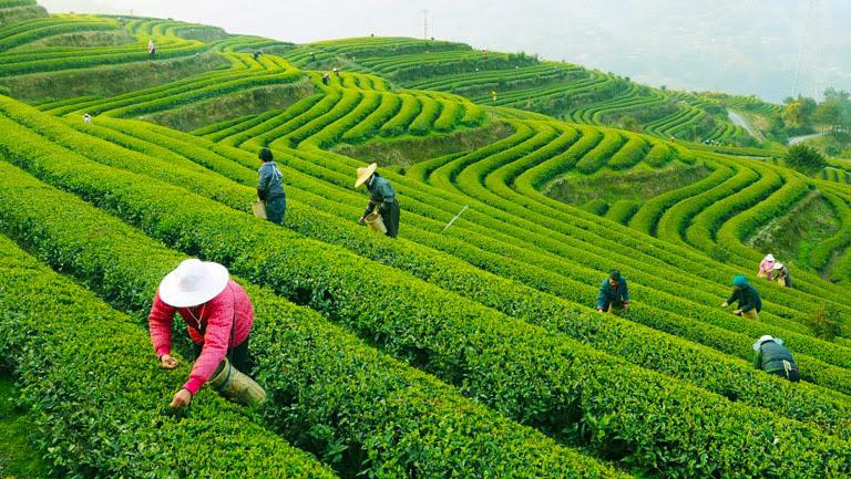 Image result for longjing tea field