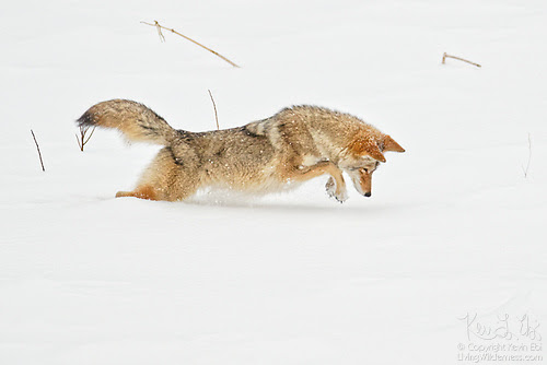 Coyote Pouncing in Snow, Yellowstone National Park, Wyoming