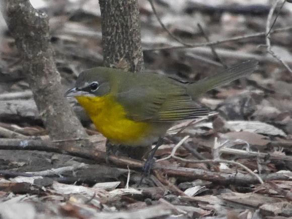 Ed Gaillard: recent &emdash; Yellow-Breasted Chat, Millennium Park