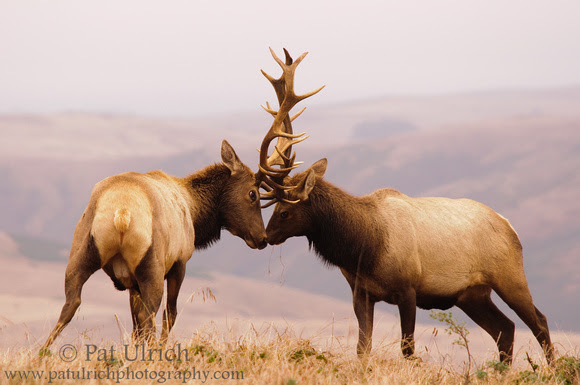 Photograph of two fighting tule elk in Point Reyes National Seashore