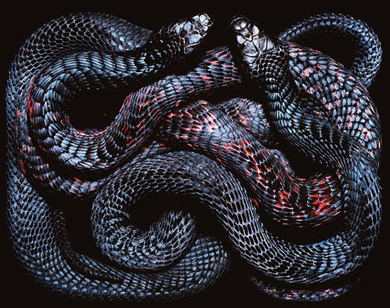 black snake The Most Dangres Snakes In The World