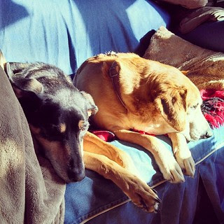 The hounds have claimed the morning #sunspot ! #houndmix #coonhoundmix #Rescued #adoptdontshop #dogstagram #instadog #ilovemydogs