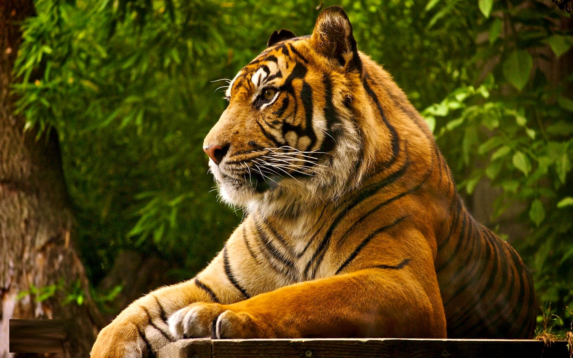 Bengal Tiger  Facts, Pictures, Habitat, Information, Diet, Lifestyle  Animals Adda