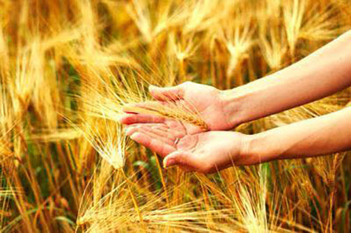 [Photo of hands holding wheat]