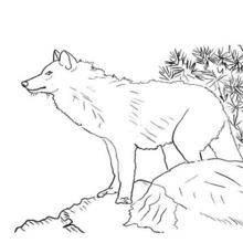 Coloriages De Loups Coloriages Coloriage à Imprimer Gratuit Fr