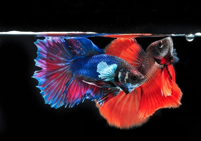 30++ Gambar Kartun Ikan Cupang - Gambar Kartun Ku