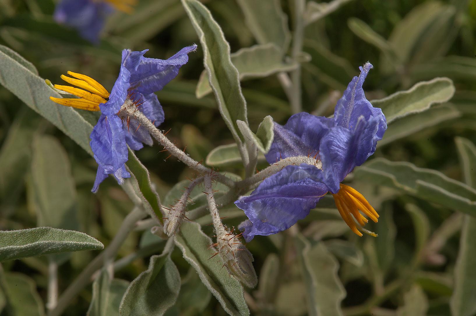 Αποτέλεσμα εικόνας για Solanum elaeagnifolium,