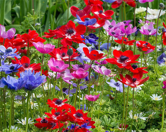 Výsledok vyhľadávania obrázkov pre dopyt anemone de caen
