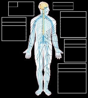 290px Nervous_system_diagram en