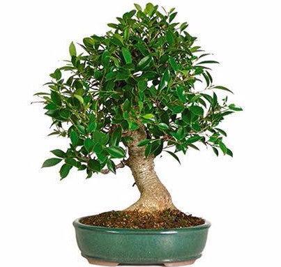 Golden Gate Ficus Bonsai Tree Care Bonsai Tree
