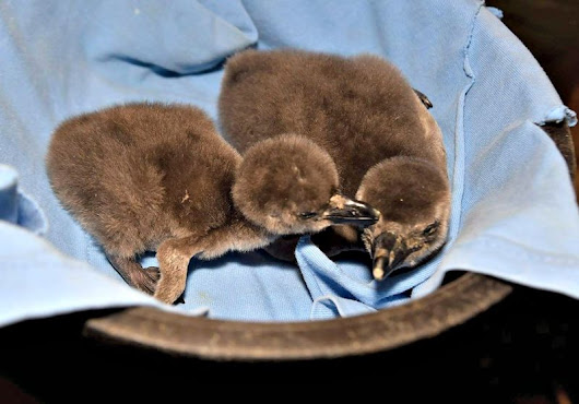 Chick It Out:  Penguins Hatch At Maryland Zoo