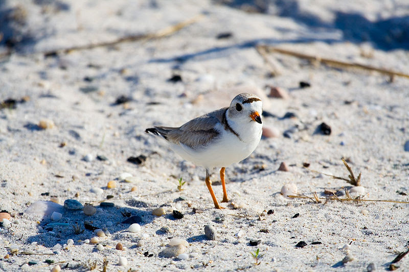 File:Piping plover.jpg