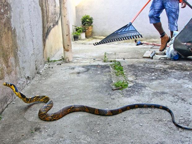 Cobra de 1,5 metro dentro de casa assusta morador de São Sebastião (Foto: Arquivo Pessoal/ Jorge Mesquita)