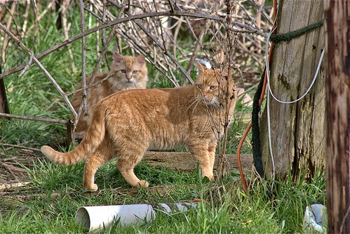 Two Orange Feral Cats