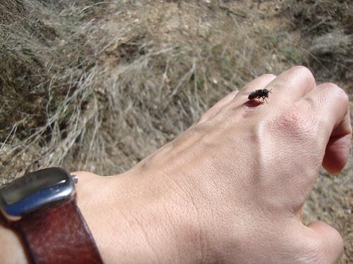 killer bee on my hand, Saguaro National Park East, Loma Verde Loop