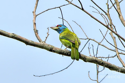 Blue Throated Barbet by Pravine Chester