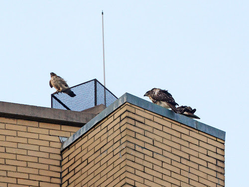 Isolde and Two Fledges